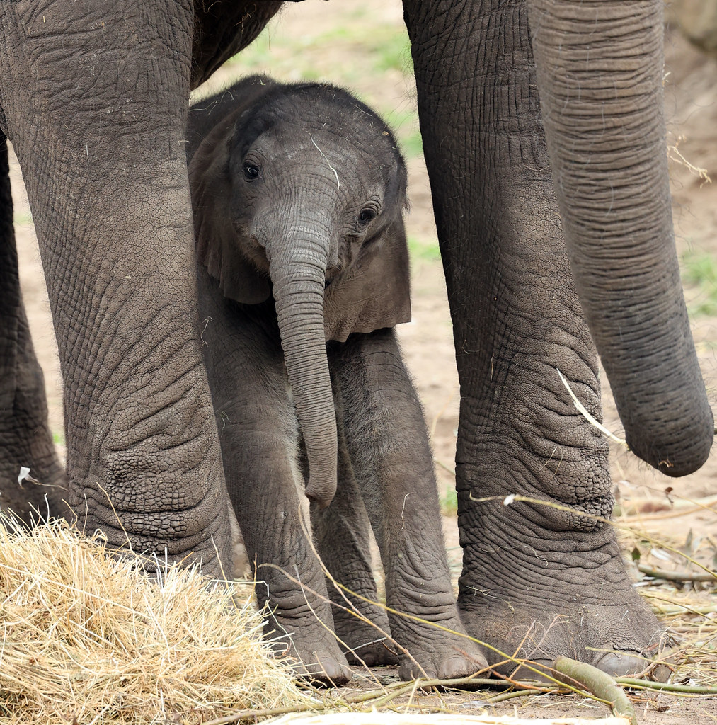 African elephant Bumi Ouwehand LF1A1220