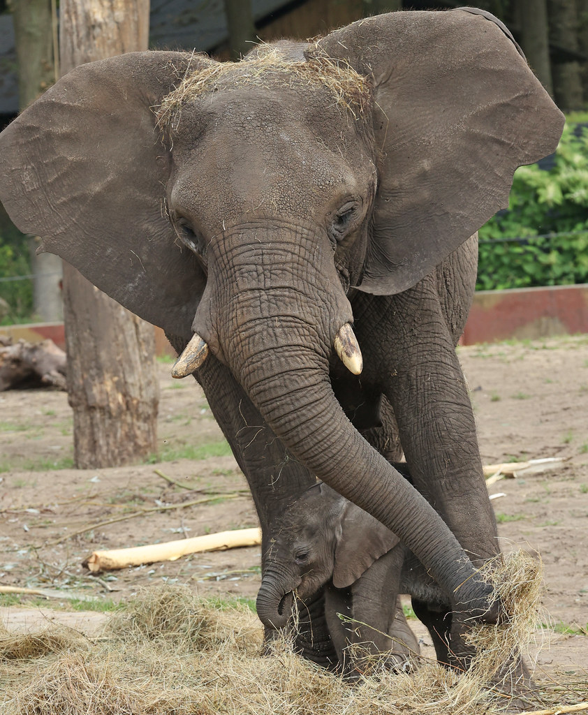 African elephant Duna and Bumi Ouwehand LF1A1141