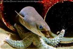 Paling - Anguilla anguilla - European Eel