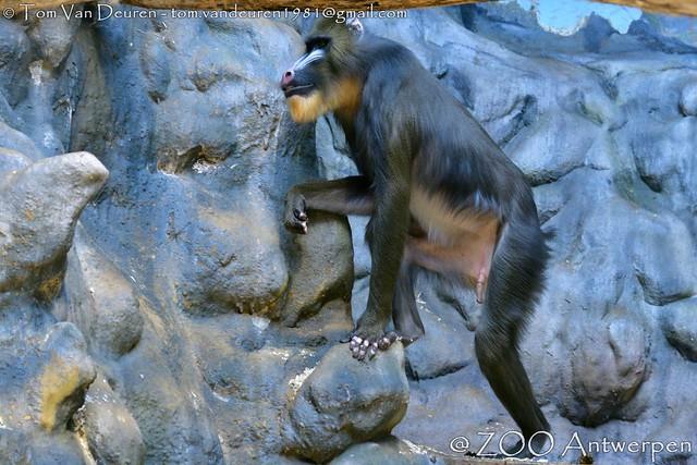 Mandril - Mandrillus sphinx - Mandrill