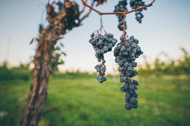 Overripe, shriveled black grapes in a vineyard