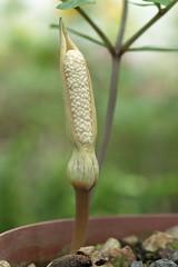 Gonatopus angustus 6782-1; Araceae (1)