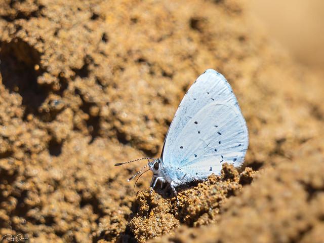 Holly Blue - Celastrina argiolus