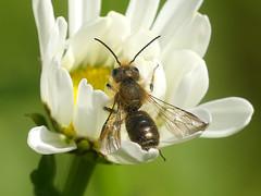 Zweihu00f6ckerige Mauerbiene (Osmia leaiana)