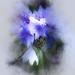 Cornflower from Rosemoor