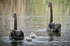 Cygnet gets a lift with dad