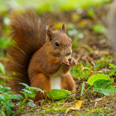 Red Squirrel lunch