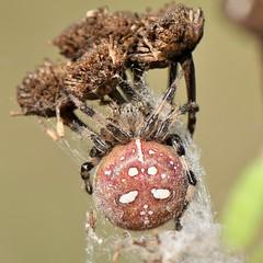 Vierfleck-Kreuzspinne (Araneus quadratus) (1)