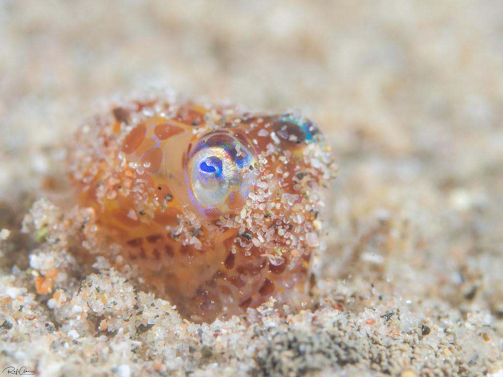 Berry's Bobtail Squid - Euprymna berryi