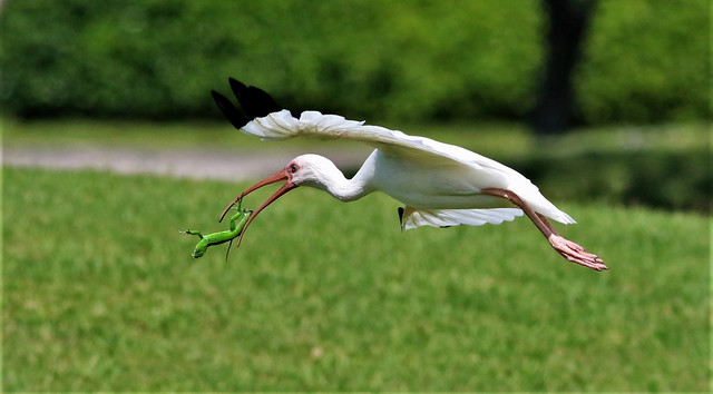 White Ibis trying to fly off with an Igana almost dropping it in the process!