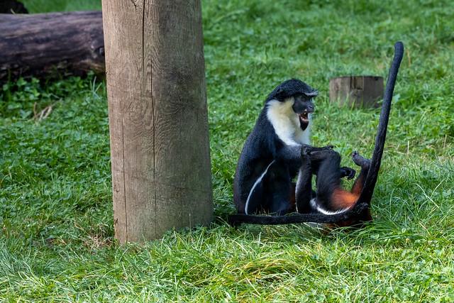 Diana Monkey 2