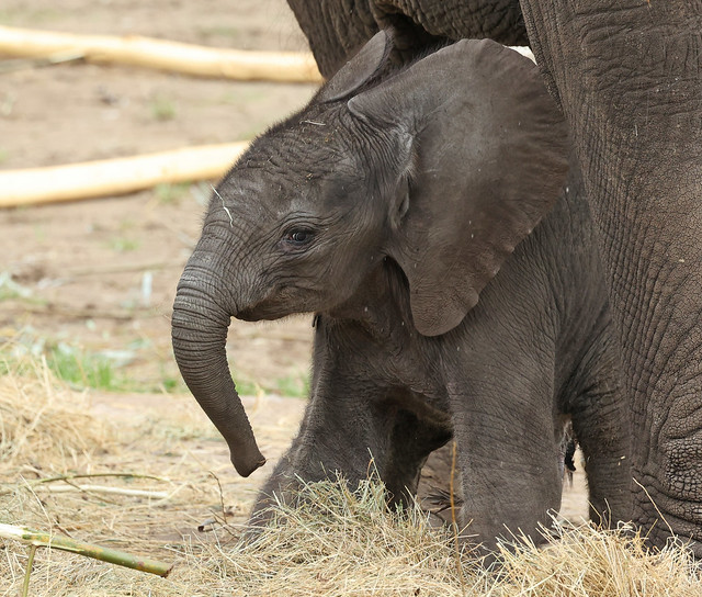 African elephant Bumi Ouwehand LF1A1194