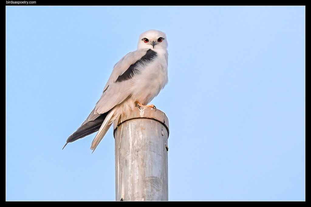 Black-shouldered Kite: Pausing in First Light