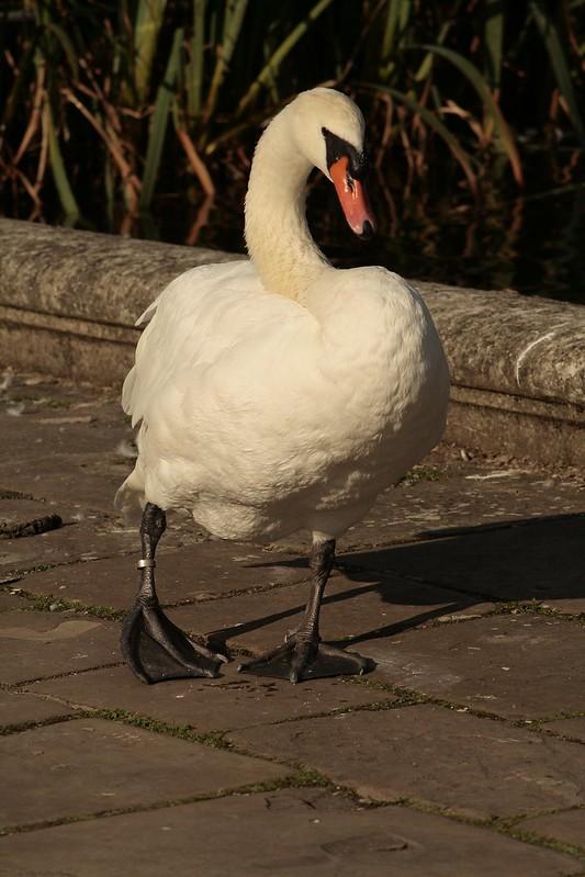 Swan taking a walk