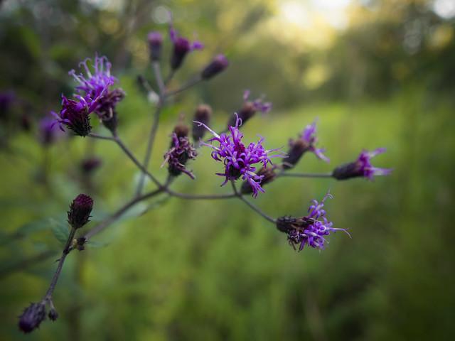 September ironweed  (01)