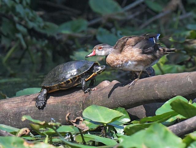 Wood Duck Meets Turtle