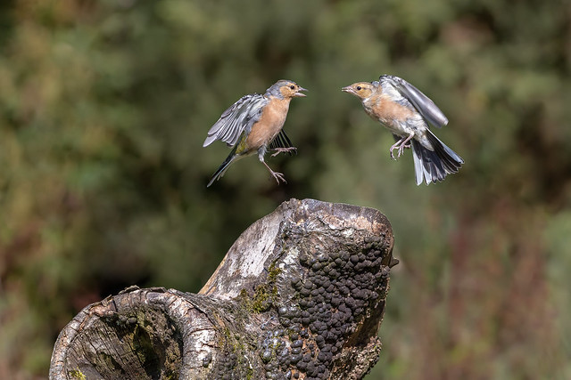Two Male Chaffinches Fighting in the Air