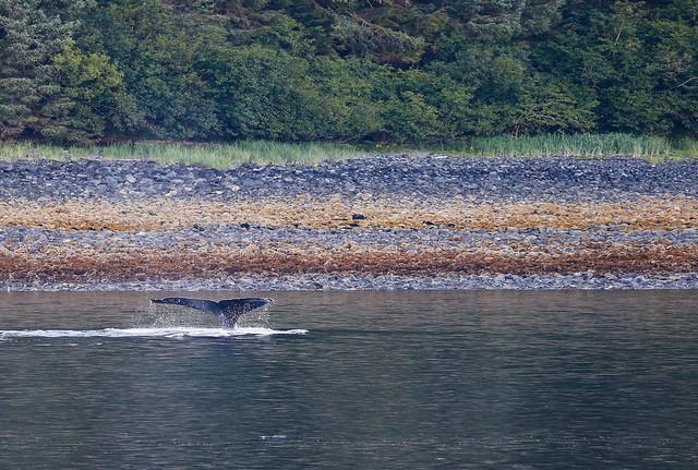 Humpback fluking near the shore