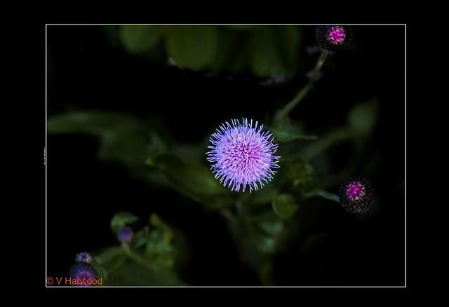 Blue Pink Puff