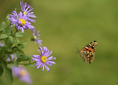 Painted Lady butterfly. No 4