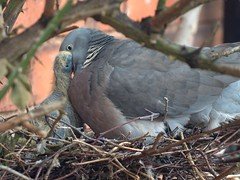 Woodpigeon feeding it's squab. SE.Staffs.
