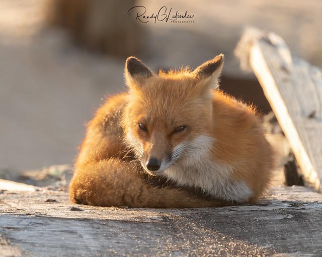 Red Fox | Vulpes Vulpes | 2021 - 66