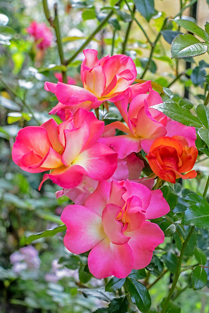 Full-Blown Roses