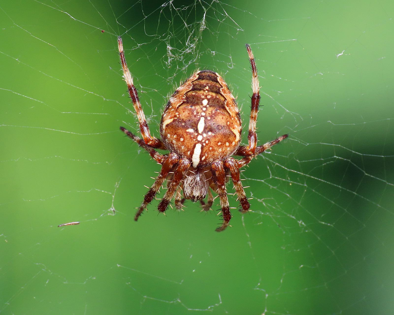Garden Orb-Web Spider - Araneus diadematus