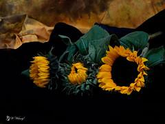 Sunflowers!ud83cudf3b