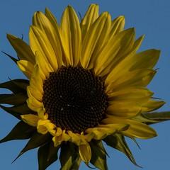 3. Resize of 2021 Sep 14 mini sunflower 2