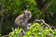 Makake im Baum
