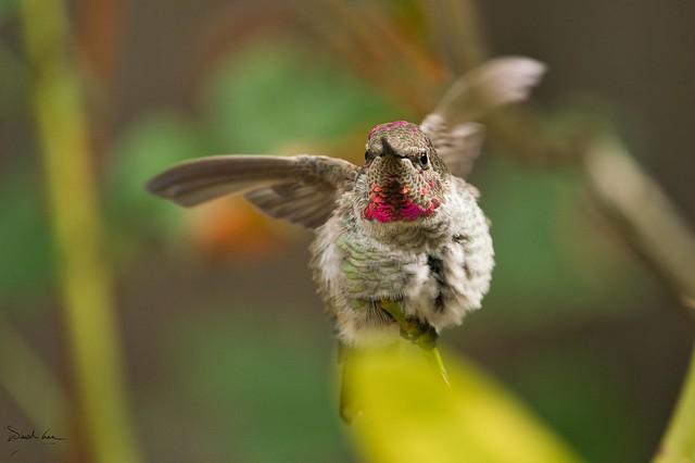 Anna's Hummingbird (juvenile male)