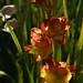 Gladiolen (Gladiolus sp. Kultivar) im Gegenlicht; Schleswig (8)
