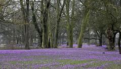 Krokusblüte im Schlossgarten in Husum; Nordfriesland (21)