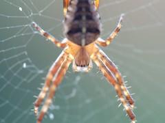 Garden orb spider. S.E.Staffs.