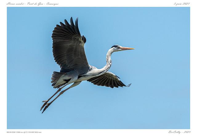 Héron cendré   Grey heron
