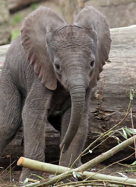 African elephant Bumi Ouwehand LF1A0667