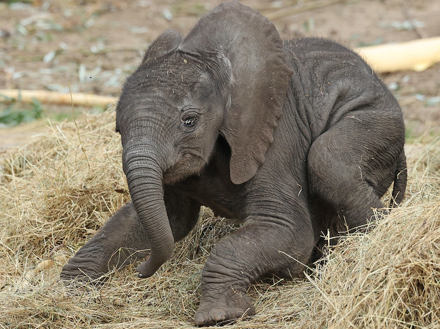 African elephant Bumi Ouwehand LF1A1087