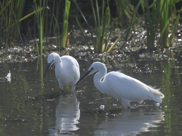 Little Egrets.
