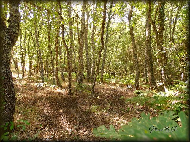 O Carvalho da Floresta