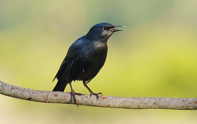 Estorninho preto | Sturnus unicolor | Spotless Starling