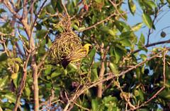 Webervogel am Nest (Mu00e4nnchen)