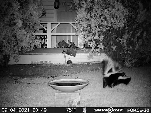 skunk_pair-20210904-106