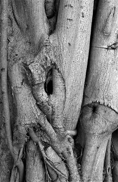 Ficus elastica - detalhe