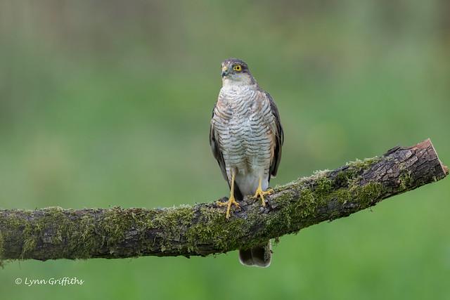 Sparrowhawk 850_9612.jpg