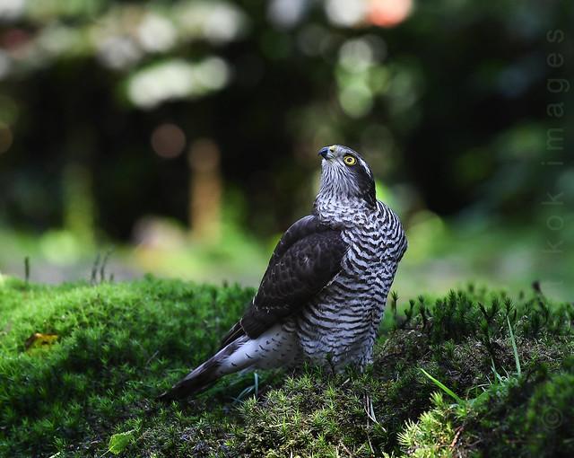 Eurasian Sparrow Hawk / Passer accipiter / Sperwer
