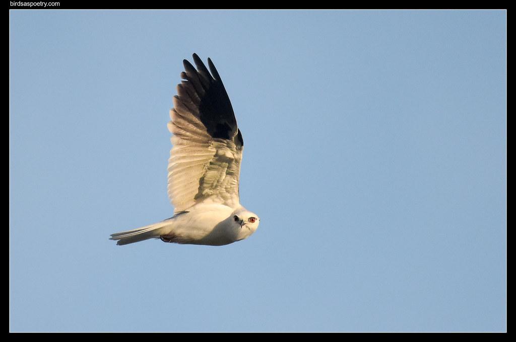 Black-shouldered Kite: I Spy with My Little Eye