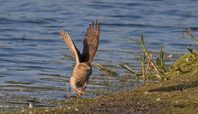Sparrowhawk juvenile 17045