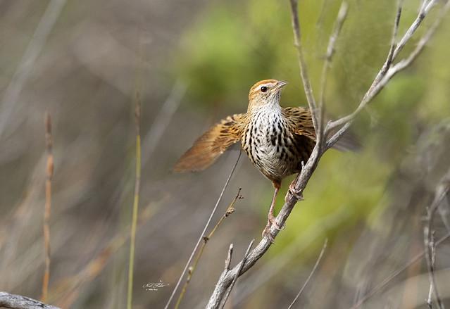 DSC_5632  Fernbird ( Bowdleria punctata )