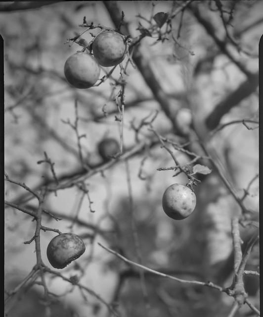inside an apple tree, fruit, branches, neighborhood, Asheville, NC, Folmer Graflex R.B. Series B, Kodak Anastigmat f-4.5, 3x4 sheet film negative, HC-110 developer, 9.14.21